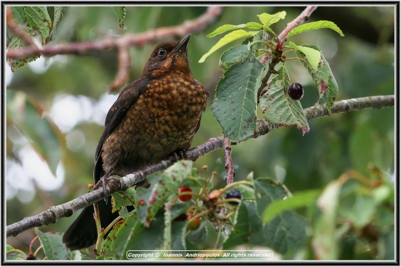 Young Female Blackbird