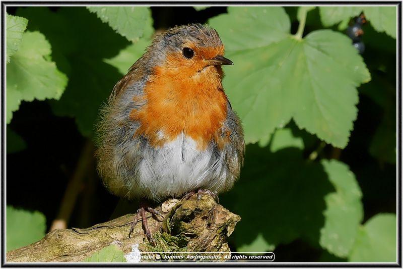 My ..Robin