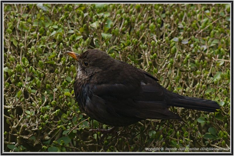 Young Blacbird