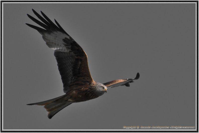 Red Kite...