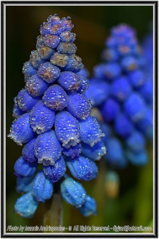 Dewdrops on Blue