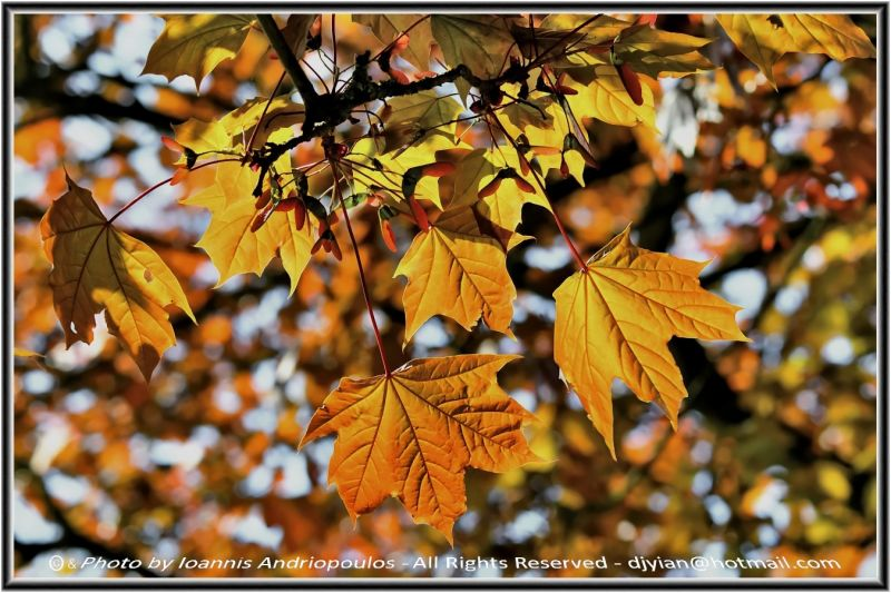 Sycamore Leaves Turning Green -Καλο μηνα !