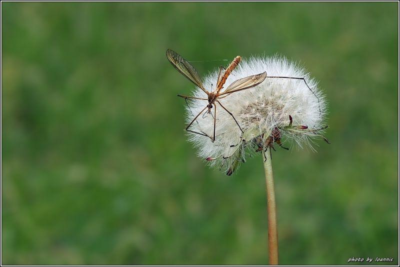 Dandelion(ραδικι η πικραλιδα)
