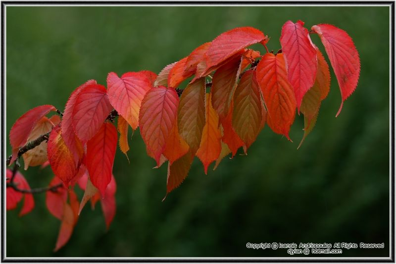 Wild Cherry Leaves in Autumn Colours