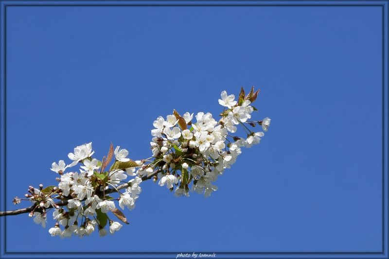 Blossoms (Wild cherrie tree)