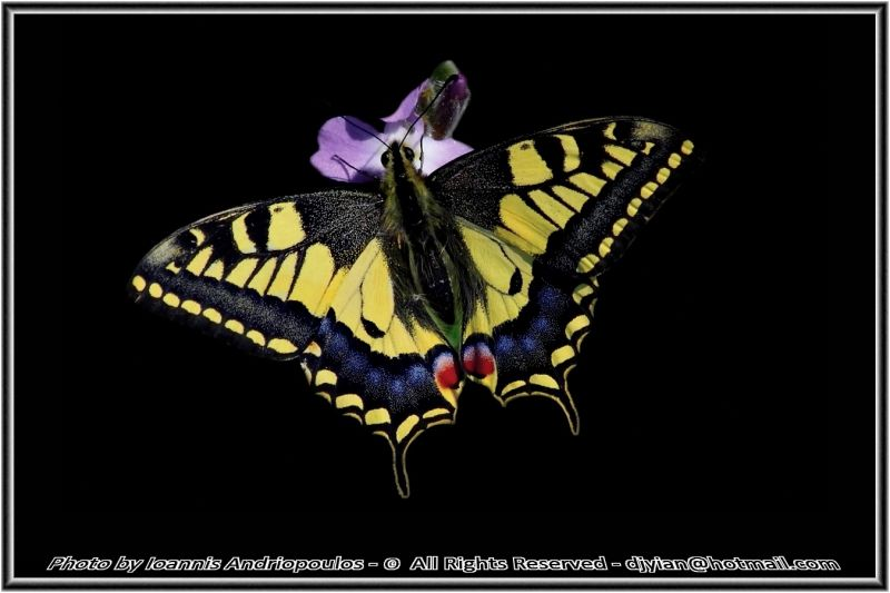 Swallowtail Butterfly (Papilio machaon britannicus)